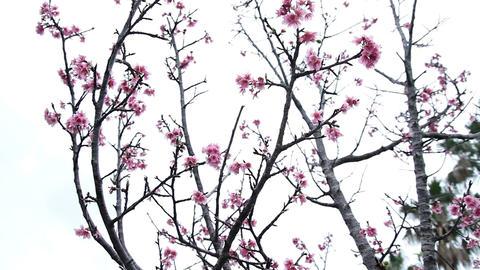 サクラ・ヤエ#5sakura・yae#5桜 Footage