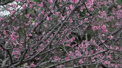 サクラ・ヤエ#9sakura・yae#9桜 Footage