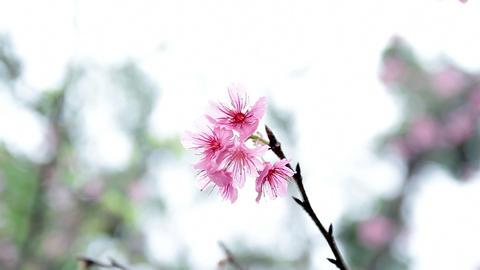 サクラ・ヤエ#13sakura・yae#13桜 Footage