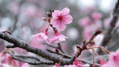 サクラ・ヤエ#15sakura・yae#15桜 Footage