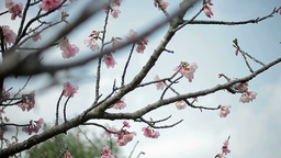 サクラ・ヤエa#1sakura・yae_a#1桜 Footage