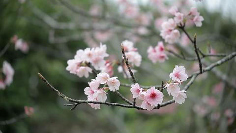 サクラ・ヤエa#9 sakura・yae_a#9桜 Footage