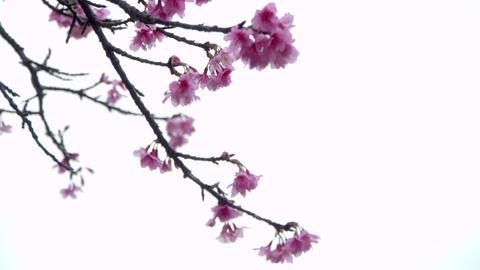 サクラ・ヤエb#1sakura・yae_b#1桜 Footage