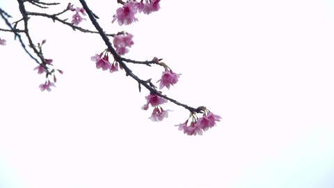 サクラ・ヤエb#1sakura・yae_b#1桜 Stock Video Footage