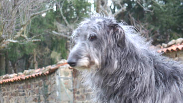 DSCF 1198 Deerhound Head stock footage