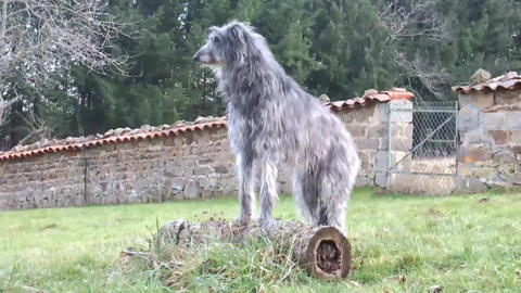 Scottish Deerhound Stock Video Footage