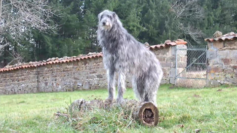 Scottish Deerhound stock footage