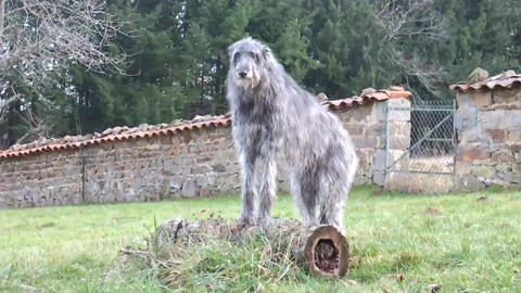 Scottish Deerhound Stock Video Footage