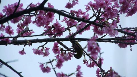 うぐいすと桜#1 Stock Video Footage