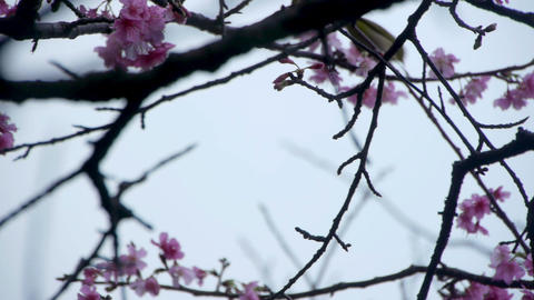 うぐいすと桜#1 Stock Video Footage