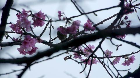 うぐいすと桜#1 Footage