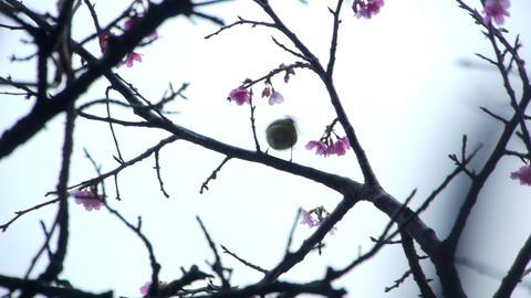 うぐいすと桜#3 Stock Video Footage