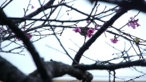 うぐいすと桜#3 Footage