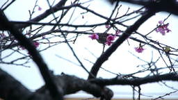 うぐいすと桜#3 Stock Video Footage