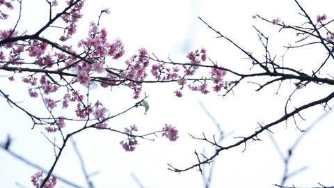 うぐいすと桜#5 Stock Video Footage