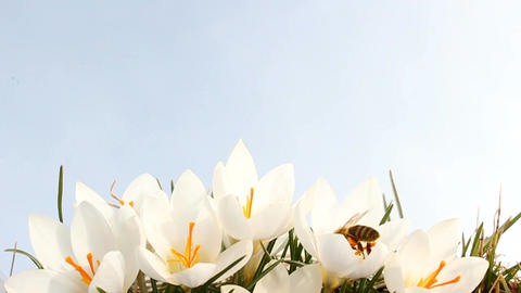 Bee on Crocus Stock Video Footage