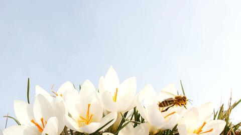Bee on Crocus Footage
