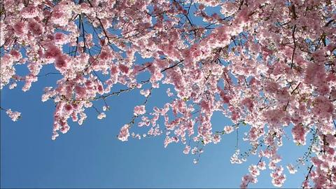Flowering Cherry 圖片
