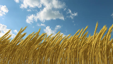 growing wheat against the sky Animation