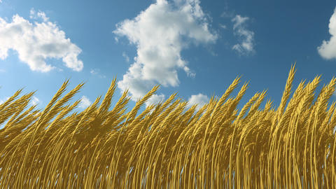 growing wheat against the sky Stock Video Footage