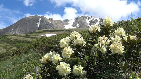 Blooming rhododendrons at the foot of the mountain Oshten. The Caucasian mountai Footage