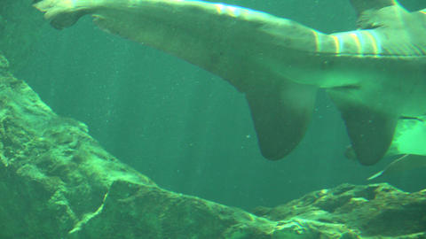 Shark Tail And Fins Underwater Live Action