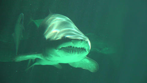 Female Shark Mouth And Teeth With Baby Shark Footage
