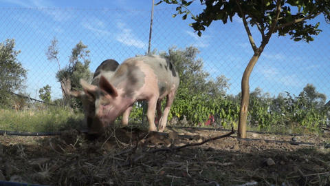 Pigs in the field Footage