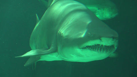 Shark Swimming Showing Mouth And Teeth Live Action