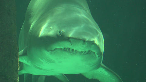 Big Shark Swimming In Water With Sharp Teeth Live Action