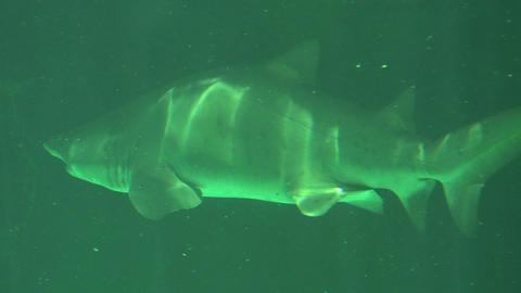Big Shark Swimming Slowly Underwater Live Action