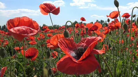 Blooming field of poppies in the area of Krasnodar. Russia Footage