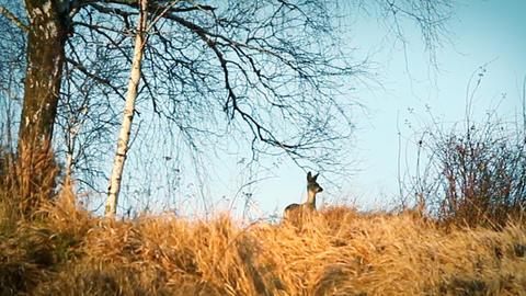 Deer in the bush Footage