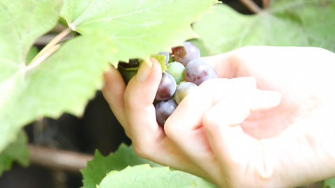 Picking grapes Footage