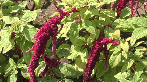 Amaranth flowers bloom in hot summer day Footage