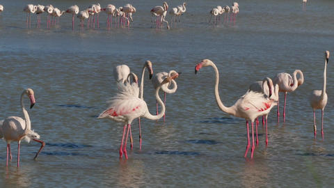 Wild Birds In Water Pond Pink Flamingos In Camargue France Footage