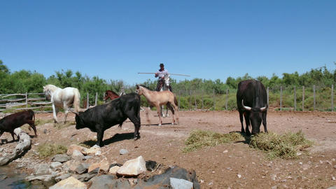 Cowboy Animal Herder Man Tending Cattle On Ranch In France Footage