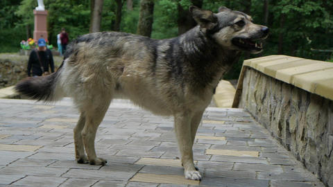 Big sad dog alone stands on the road in the park in slow motion Live Action