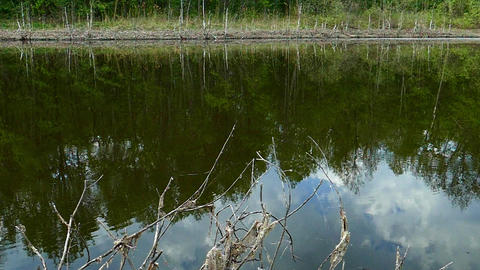 A forest lake with dry branches on the shore reflects coastal trees, a blue sky Footage