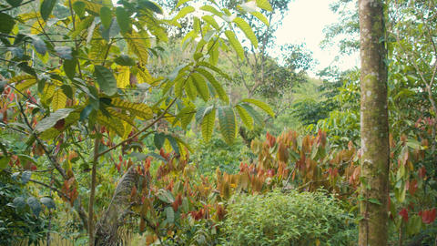 Cocoa Trees In The Middle Of The Amazon Rainforest Live Action