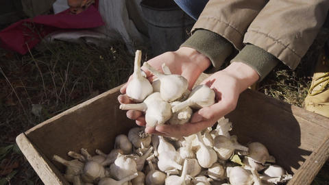 A handful of organic ripe garlic in the hands of a young farmer girl Footage