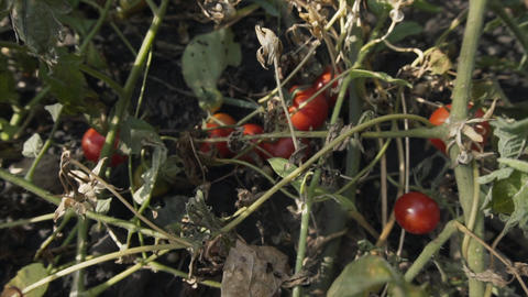 Bushes of ripe fragrant red tomatoes on an organic farm Live Action