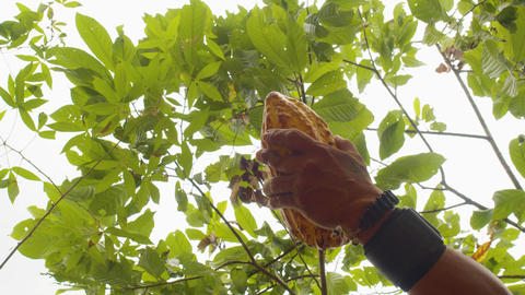 Low Angle Detail Shot Of Hands Cutting A Cocoa Fruit With A Machete Live Action
