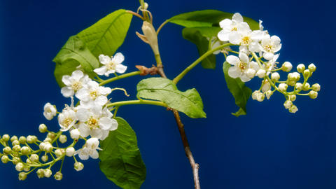 Bird-cherry flower blooming time lapse Archivo