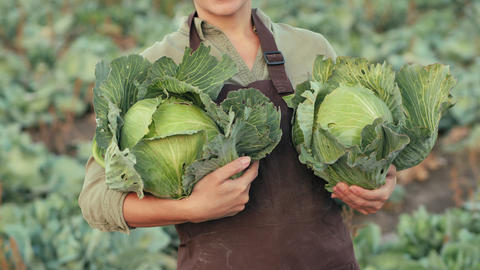 Harvesting cabbage. Woman holds cabbage in his hands Live Action