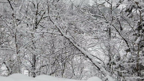 Snow covered on branches tree in winter forest during snow falling Live Action
