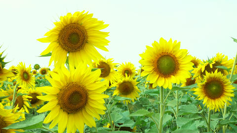 sunflowers swaying in the wind Footage