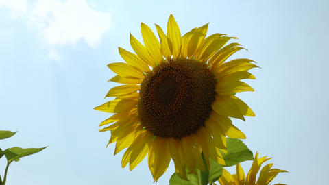 Sunflower swaying in the wind Footage