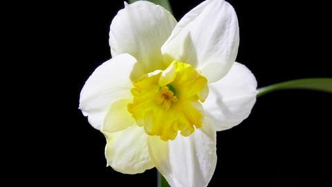Narcissus Flower Live Action