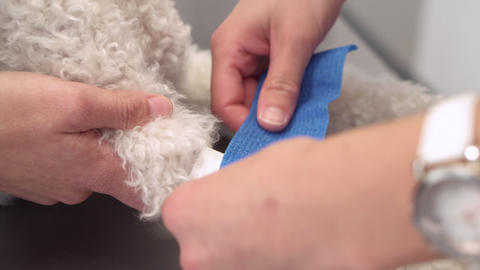Veterinary places sterile bandage in dog paw. Pet health care and medical Live Action